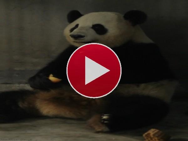 Este panda tiene una buena dentadura