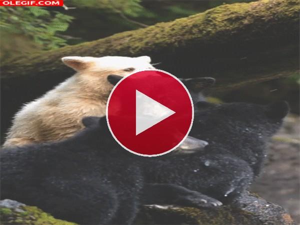 GIF: Un grupo de jóvenes osos