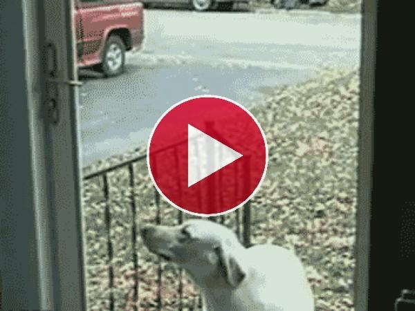 GIF: A este perro deben abrirle la puerta