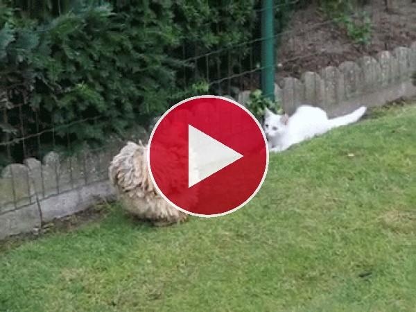 Mira cómo se pelean el gato y la gallina