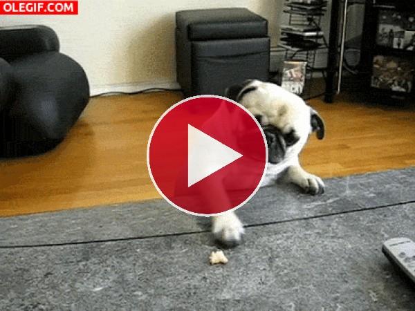 GIF: Este perro no agarra el pan