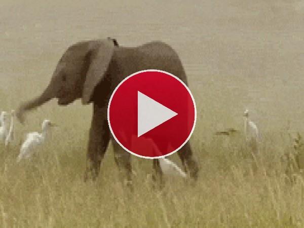 GIF: A este pequeño elefante no le gustan las aves