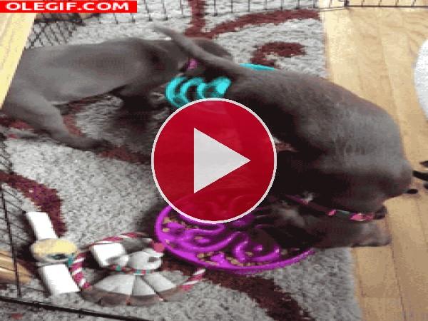 GIF: Estos perros giran mientras comen