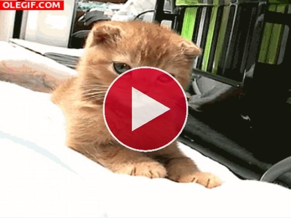 Mira cómo bosteza el gato