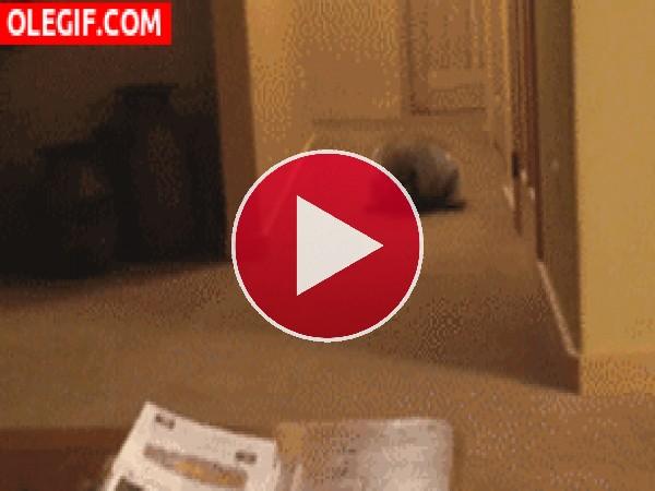 GIF: Mira a este mapache dando volteretas