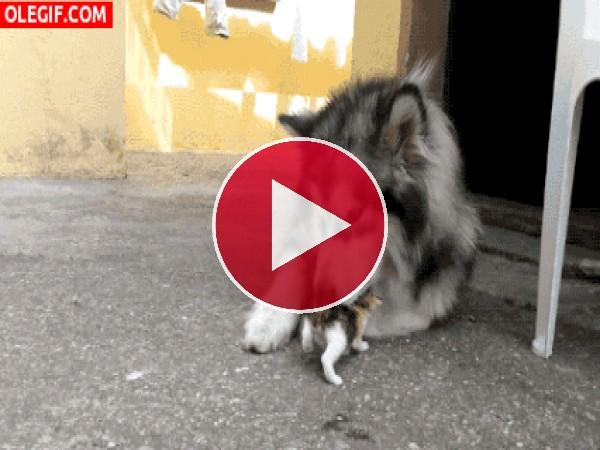 Husky jugando con el gatito