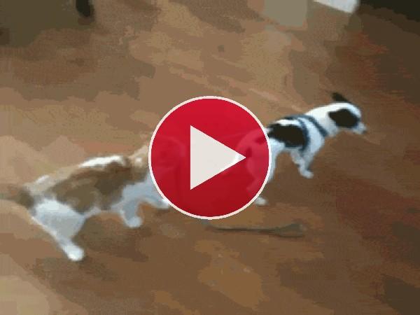Este gato quiere pasear al perro