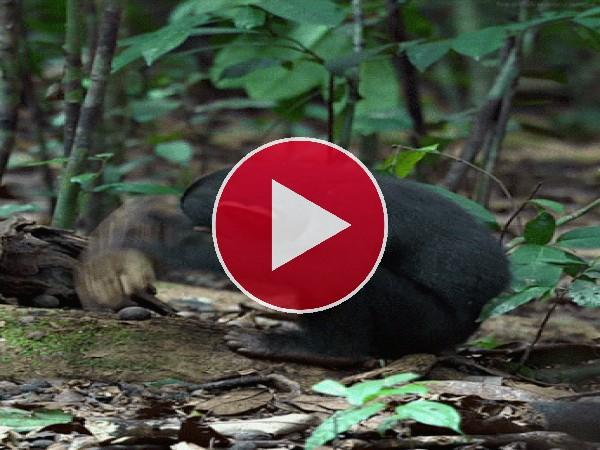 GIF: Chimpancé en plena naturaleza