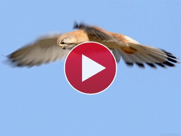 Mira a este halcón en el aire
