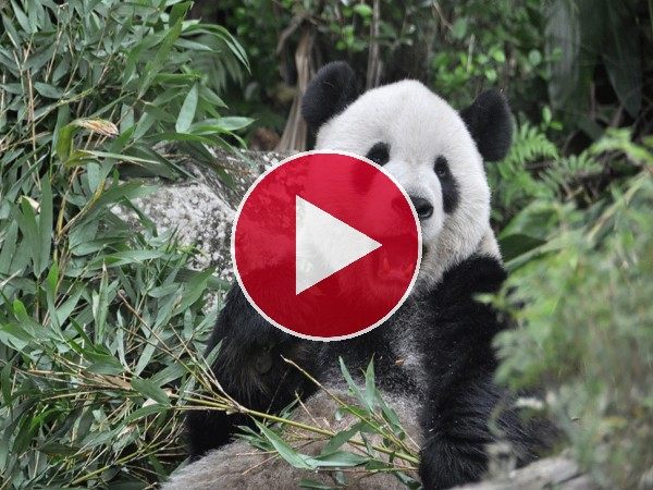 Mira a este panda comiendo bambú