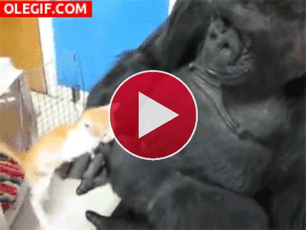 GIF: Gorila mirando con curiosidad al gatito