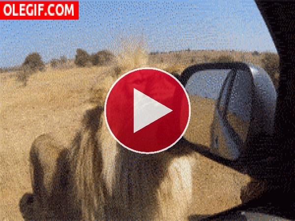 A este león le gusta el espejo