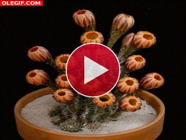 Mira cómo se abren estas flores de cactus