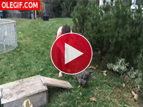 Una gallina bien entrenada