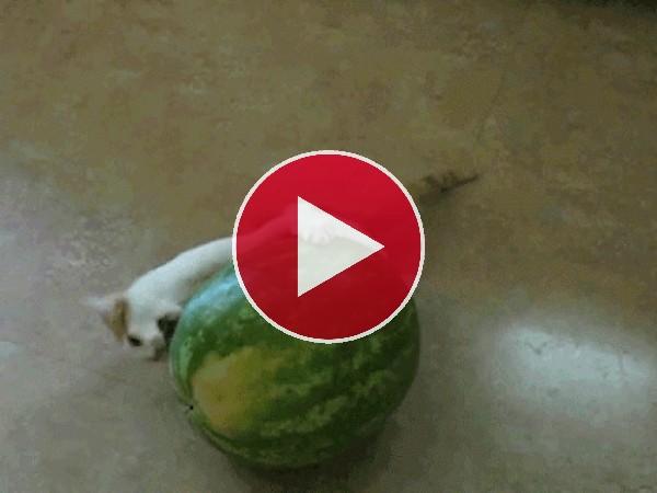 A este gato le gusta la sandía