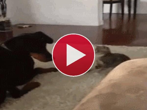 Este gato busca pelea con el perro