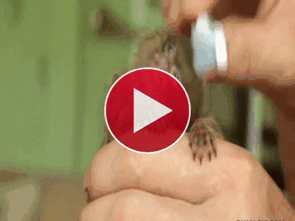 GIF: Peinando al pequeño mono