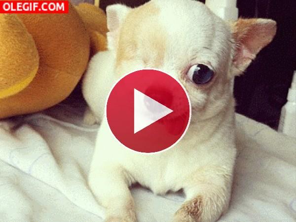 GIF: A este chihuahua le falta un ojo