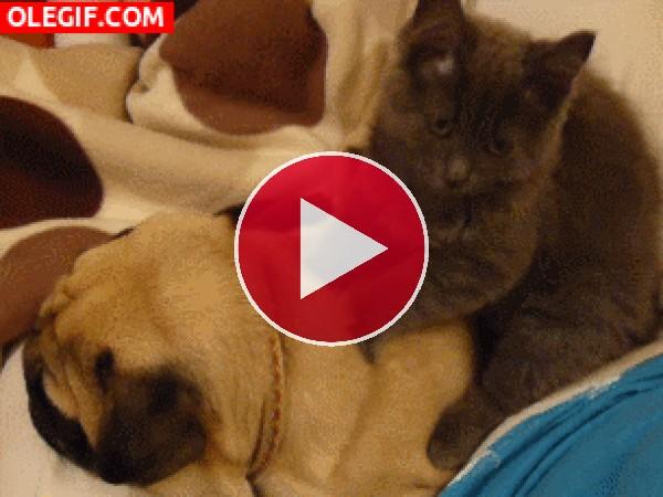 A este perro le gustan los masajes que le da el gato