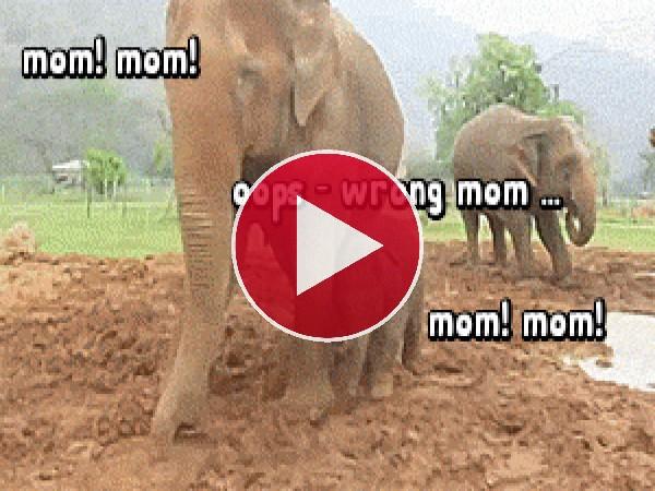 GIF: Este pequeño elefante se confunde de mamá