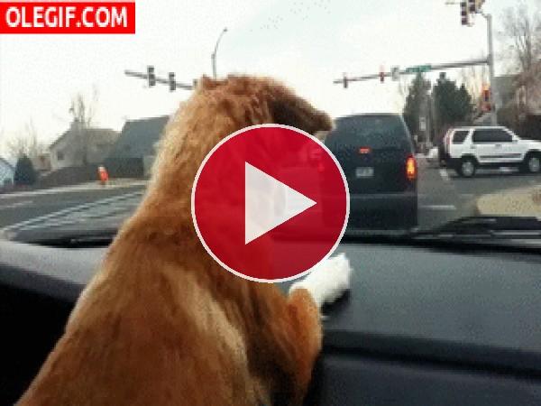 Este perro se vuelve loco con el limpiaparabrisas