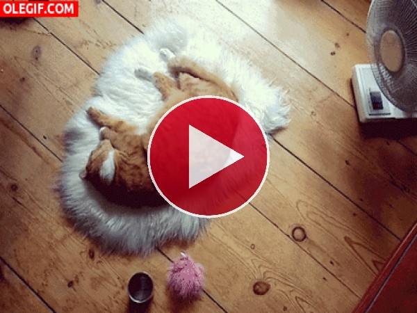 GIF: Este gato duerme junto al ventilador