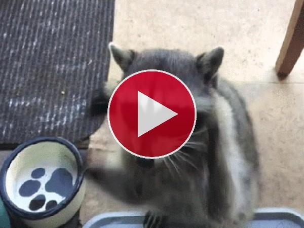 GIF: Este mapache se prepara para comer