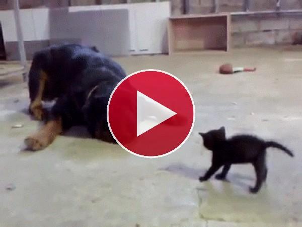 GIF: Un gatito valiente