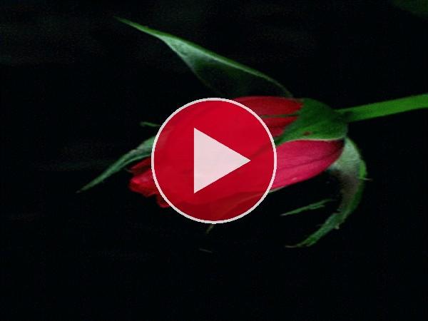 Rosa roja abriendo los pétalos