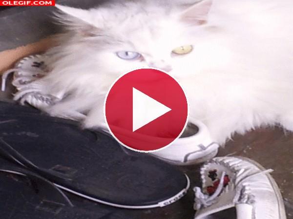 GIF: Este gato tiene un ojo azul y otro amarillo