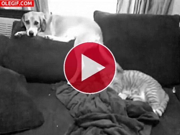 GIF: Molestando al gato
