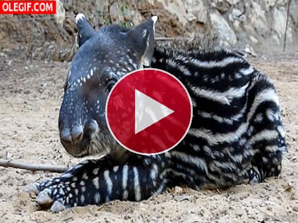 Mira a este pequeño tapir