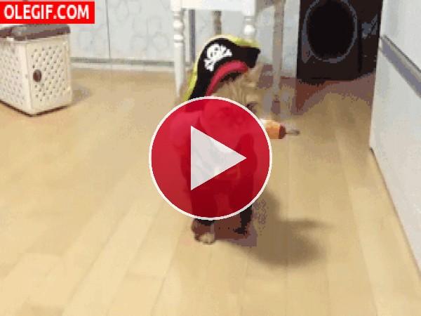 GIF: Mira al gato pirata