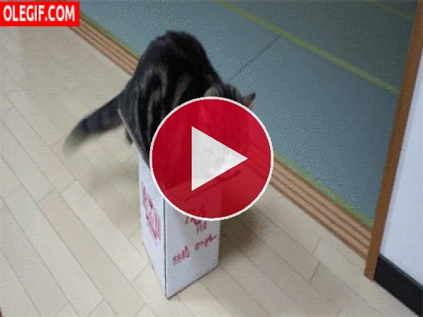Este gato no cabe en la caja