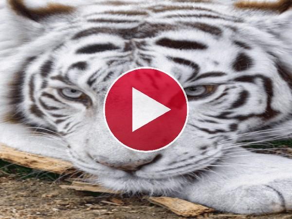 GIF: Hermosos tigre