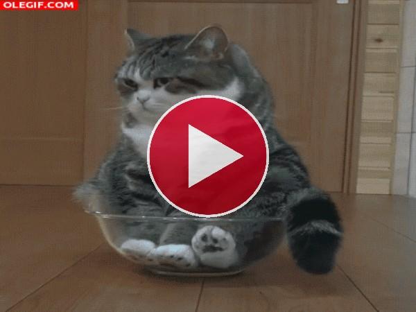 Este gato se duerme dentro del bol