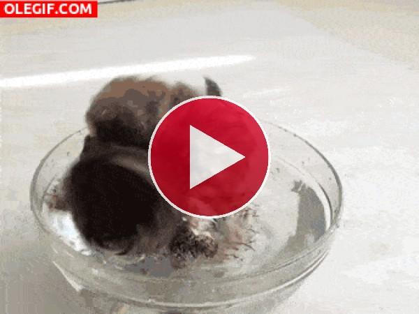 Mira a esta lechuza dándose un chapuzón
