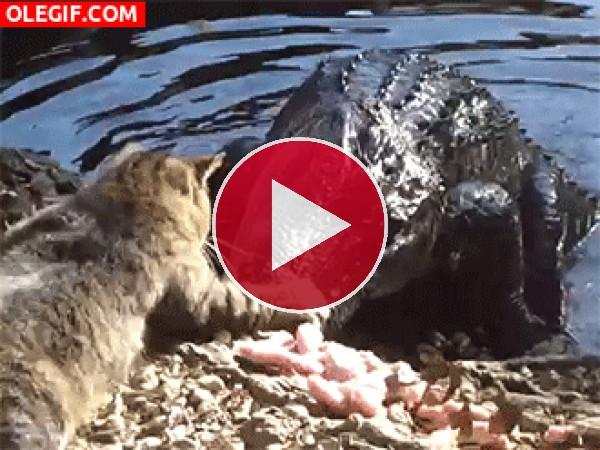 Este gato no teme al cocodrilo
