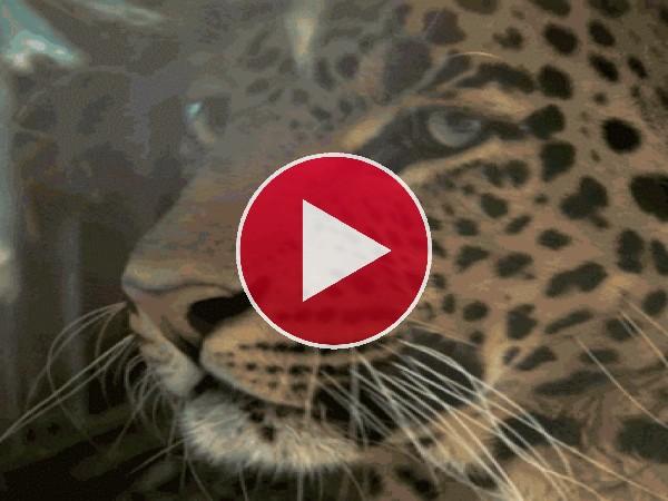 GIF: Este leopardo tiene hambre