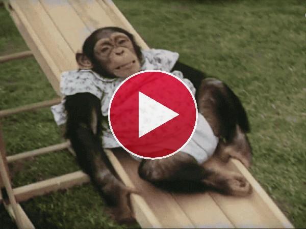 Mira a esta chimpancé tirándose por el tobogán