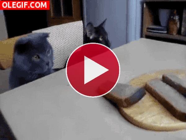 GIF: Estos gatos quieren pan