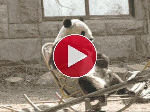 Mira a este panda en una mecedora
