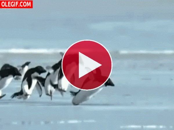 Pingüinos alzando el vuelo