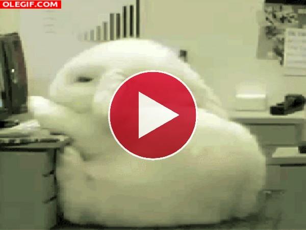 GIF: Este conejo se cae de sueño