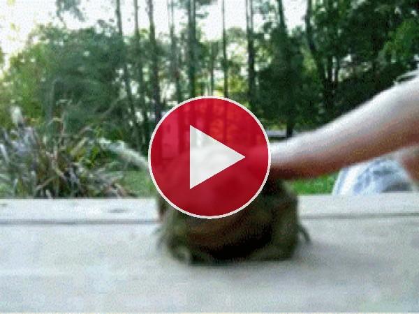GIF: Este sapo tiene cosquillas