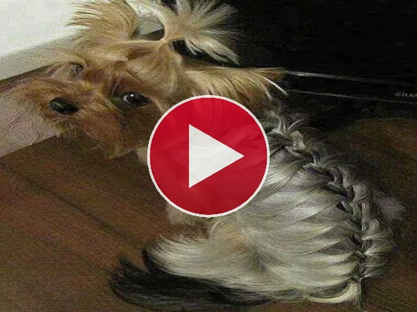 GIF: Peinados para perros