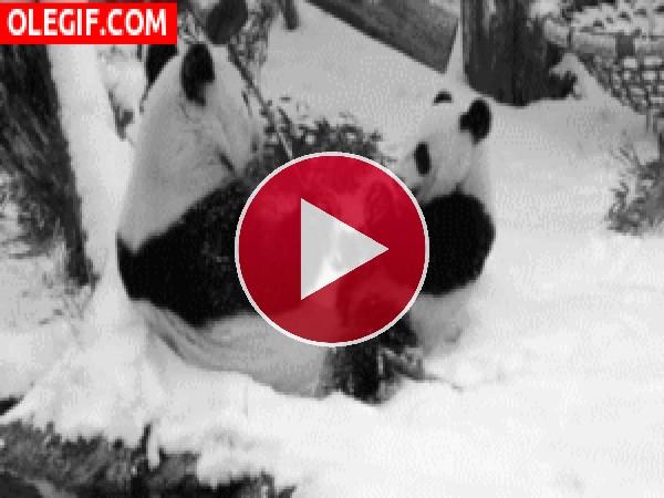 Pandas comiendo sobre la nieve