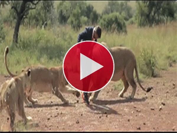 Jugando al fútbol con leones