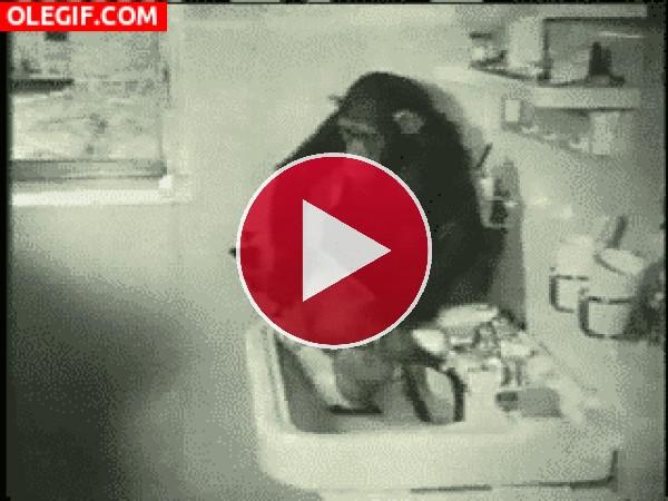 Mira a este chimpancé secando al gato
