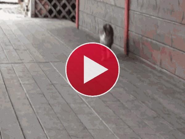 GIF: Mira cómo camina este gato